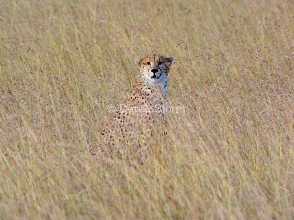 Cheetah_85x105