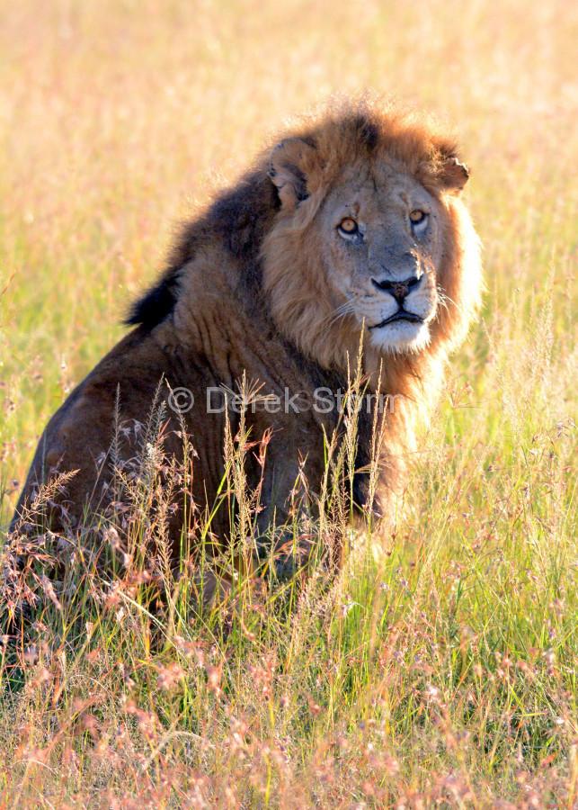 Lion_5x7