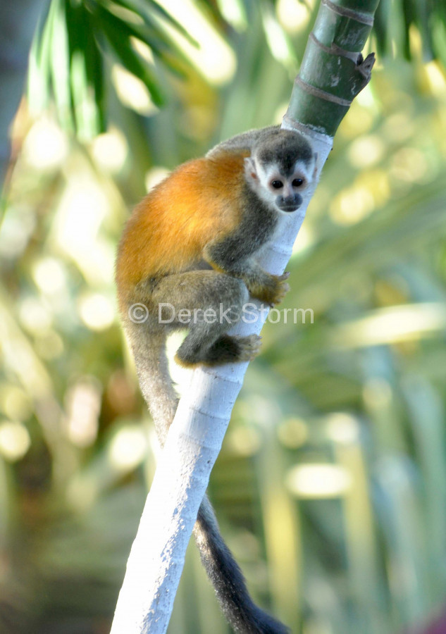 SquirrelMonkey_5x7