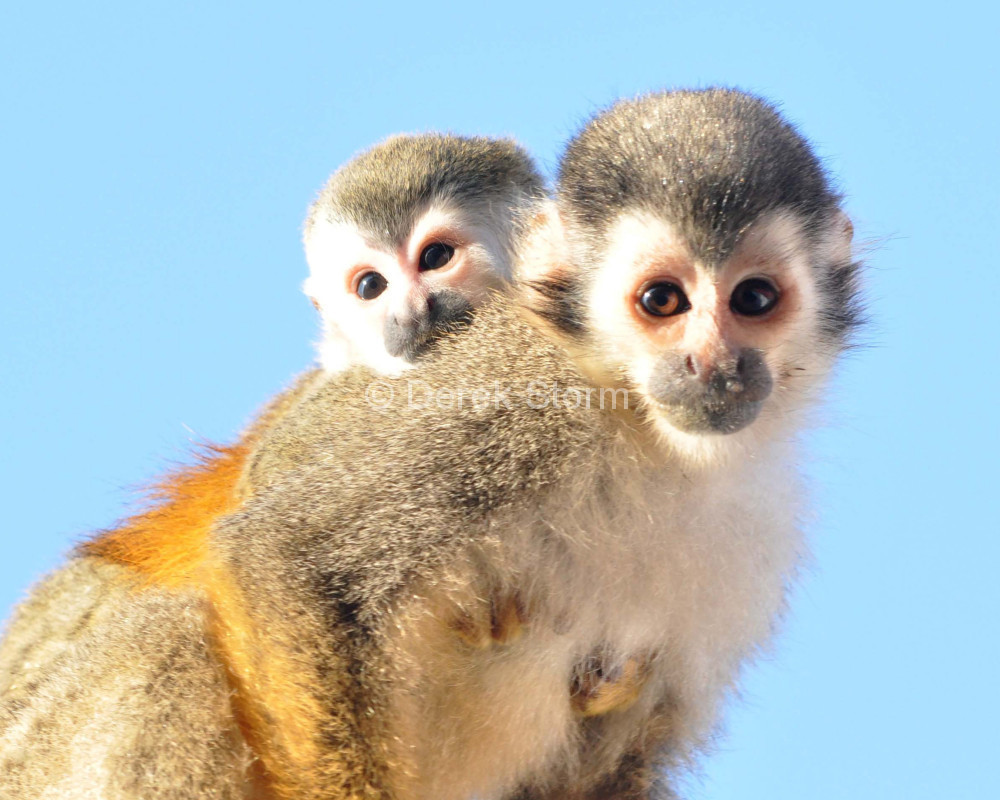 SquirrelMonkey_8x10