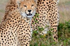 Cheetah_11x16