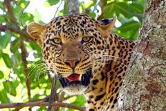 Leopard_11x14