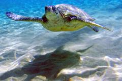 Turtle_8x10