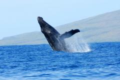 Whale-9x13